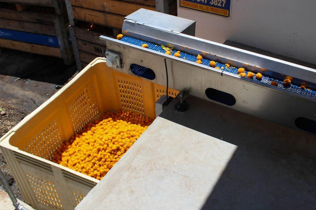 4 Pip removing conveyor